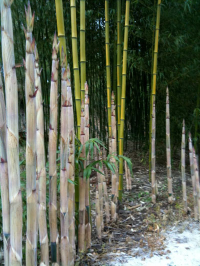 Giant Bamboo Shoots in Spring