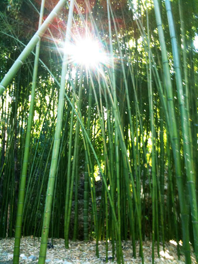 Huge Giant Bamboo Grove California