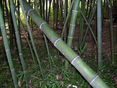 Madake Bamboo Japan