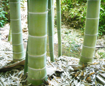 Culms of Moso Bamboo